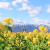 【滋賀】雪山と菜の花のコントラストが素晴らしい~守山第一なぎさ公園