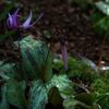 カタクリの花咲く岩宿の里