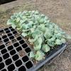 ブロッコリーの植え付け