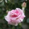 今年最初に咲いたバラは「ブルボンクイーン」