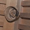 コガタスズメバチの巣づくり
