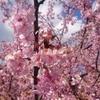 早咲き桜が満開だよ