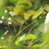 季節のたより38 キッコウハグマ