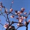 桜が満開?・・今年は春が来るのが早いようで・・