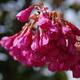 近所の寒緋桜