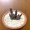うちの多肉植物たち(アドロミスクス)