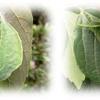 Hestina属チョウとオオムラサキ