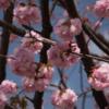 村富神社の八重桜  (4月3日)