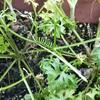 パセリのキアゲハ、すくすく育ってます。