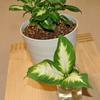ディフェンバキアカミーラを水挿しで増やしてみる(Dieffenbachia・水耕栽培・増やし方)
