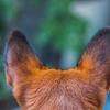 耳ダニにならないために!犬の耳は清潔に保とう