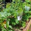 アスパラ栽培への挑戦-生長真っ盛り