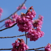 今年も寒緋桜(カンヒザクラ)撮りました(笑)