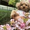 桜と梅とまるこ
