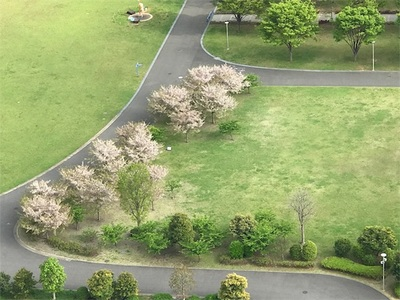近所の公園〜寒桜からソメイヨシノへバトンタッチ〜