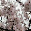 お花見しようっ!「加賀市中央公園」に行って来ました