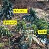寒波に襲われた葉もの野菜