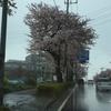 桜並木 若葉台西側  環状4号 横浜