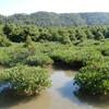 辺野古のマングローブ