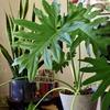 【セローム 成長記録】8枚の葉のうち元気なのは3枚かな?