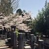 お墓の桜が一番良い。