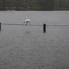 雨の不忍池