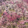 大阪城の梅林がほぼ満開。メジロ狙いで撮影に行ってきた。