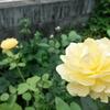 夏に咲くイングリッシュローズ