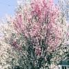 花桃を見にいったけど。