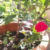 梅雨の後に咲く一輪の薔薇。