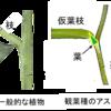 宮沢賢治の『銀河鉄道の夜』-星座早見を飾るアスパラガスの葉(1)-