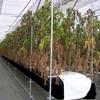 高糖度!フルーツトマトを栽培できるシステム