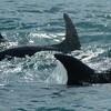 イルカ・クジラの「解放者」の拘束は望ましいか