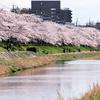 京都桜シリーズ 高野川