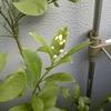 レモン、四季咲き?