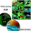 (熱帯魚 生体)ミックスプラティ (約3-3.5cm)(3ペア)【水槽/熱帯魚/観賞魚/飼育】【生体】【通販/販売】【アクアリウム】