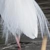 🦜野鳥捜索隊【141】ダイサギの飾り羽が美しい季節
