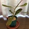 アンプOMBⅡ 植え替えと茎伏せ
