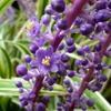 斑入りヤブランの花 2013秋