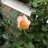 表示名と違う薔薇が咲く?
