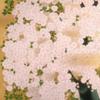 『【特別展】 桜 さくら SAKURA 2020 ―美術館でお花見!―』山種美術館