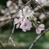 十月桜(新宿御苑にて)