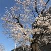 子連れお出かけ お花見 世田谷区〜目黒区