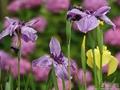 雨の中の紫陽花と花菖蒲