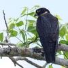 ベリーズ 精悍な Bat Falcon(バット ファルコン)