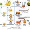 食用かんきつ類の系譜  現在,食用となっているかんきつ類は,その数が分からないぐらい多様ですが,その原種は意外と少なく,主に次の三種と言われてきました.ポメロ(ブンタンが同種),シトロン,マンダリン.ライムの類はこれに更に二種の原種(キンカン,ビアソング)が親株となっています.遺伝子研究の結果,レモン,ライム,オレンジ,グレープフルーツというなじみ深い食用のかんきつ類の系譜が明らかになってきています.
