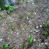 ミョウガ栽培中 日当たりが悪くてもOK コスパ抜群
