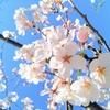暗いニュースが多いけど、河津桜に癒された日