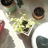 ペペロミア・セルペンスは黄緑で神々しい20190213