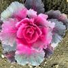 「葉」牡丹あるいは「花」キャベツ